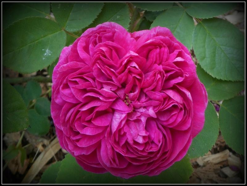 Épinglé sur jardin_rosiers