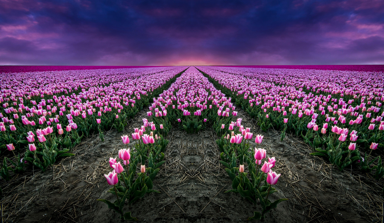 Rozowe Tulipany Pole Niebo Tulips Flower Field Landscape
