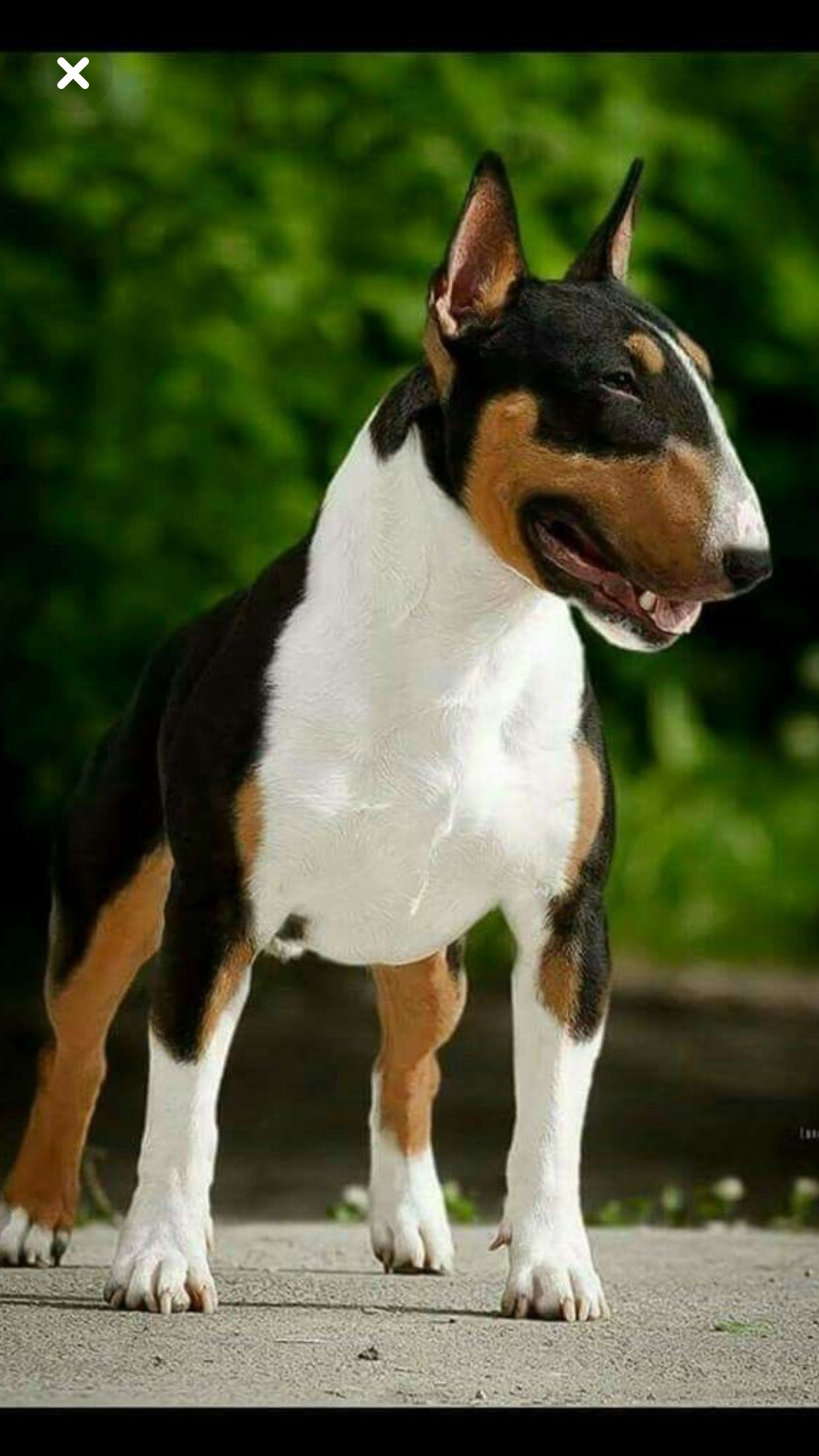 Beautiful Tri Coloured Bull Terrier Bull Terrier Bull Terrier Dog Bull Terrier Puppy