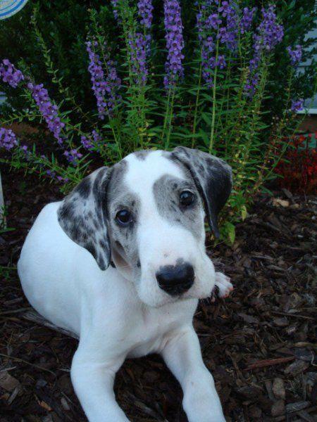 A beautiful merlequin Great Dane baby.   Great dane dogs ...