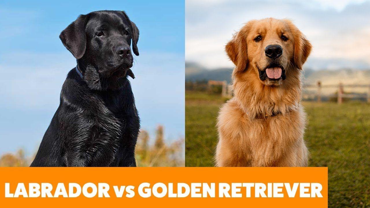 Labradors Vs Golden Retrievers Pet Guide Funny Pet Videos