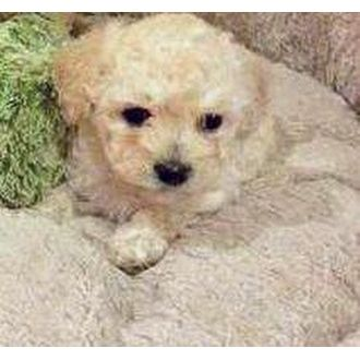 BEAUTIFUL EASTER BABY BICHON FRISE Where Wolves Rescue