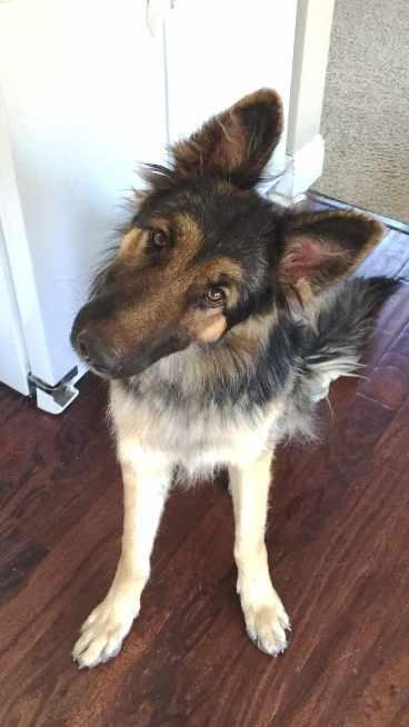 Adopt Riley On New Puppy German Shepherd Dogs Puppies