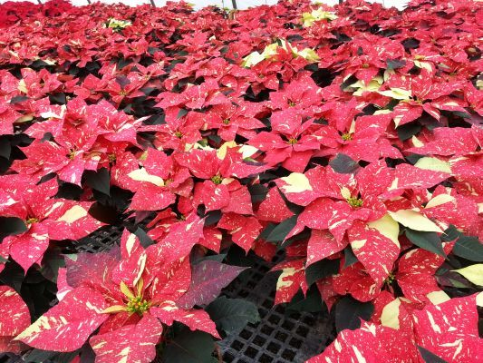Poinsettias For The Holidays Poinsettia Red Glitter Holiday