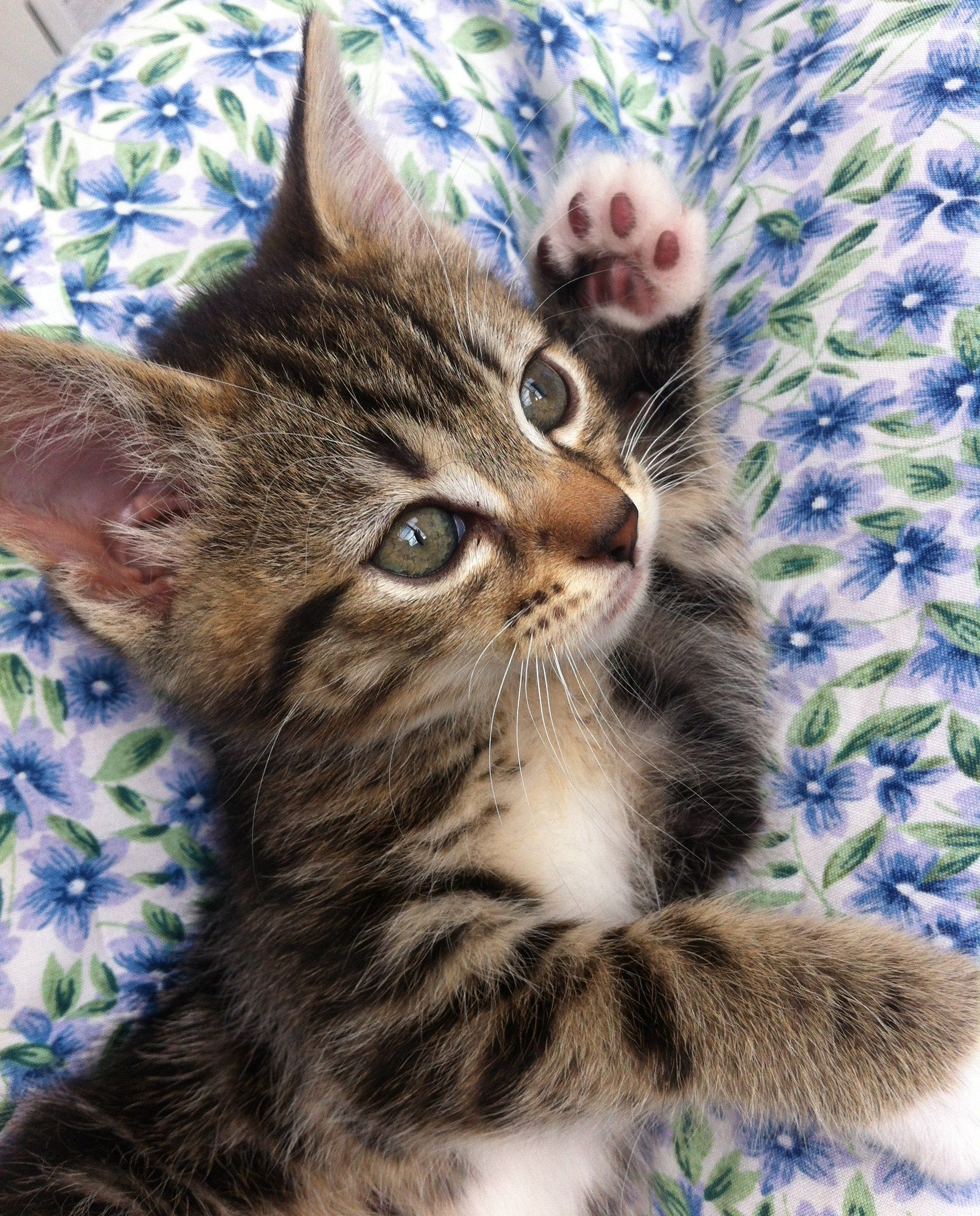 Week 25 Project 52 Baby Animals Pictures Cute Cats Tabby Kitten