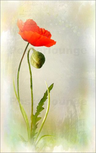 Poster Mohnblume Mit Knospe Blumen Malen Aquarell Mohnblumen Rose Malen