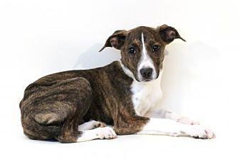 Cattle Dog Mix Puppy For Adoption In Bloomington Minnesota Sylvie Cattle Dogs Mix Dog Mixes Cattle Dog