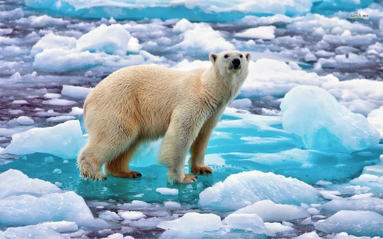 Pin By Jennifer England On Dreaming Polar Bear Polar Bear Images Polar Bear On Ice Animal polar bears on ice wallpapers hd