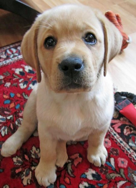 Cutest Labrador Puppy Pictures