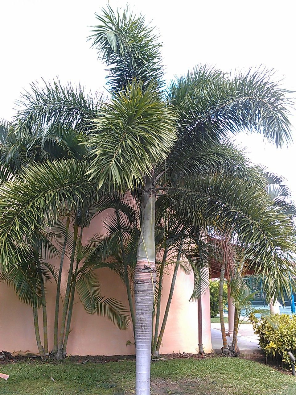 Fox Tail Palm Palm Trees Palm Plants