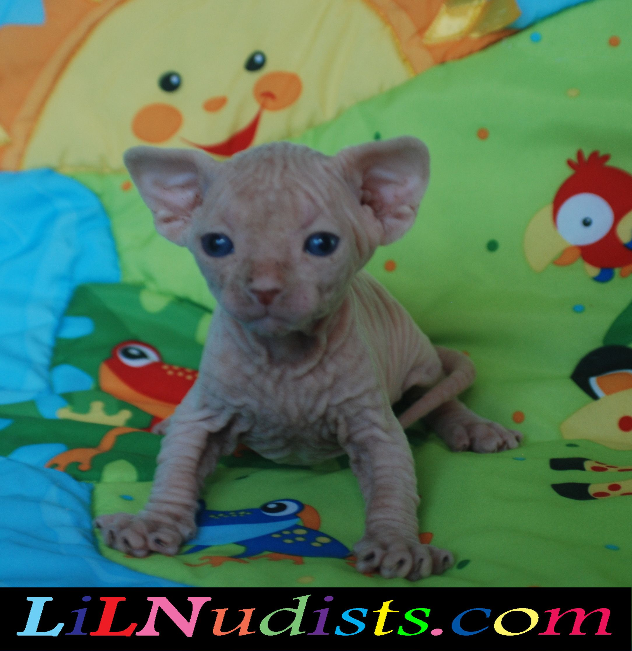 Bambino & Sphynx Hairless & Dwarf Cats & Kittens