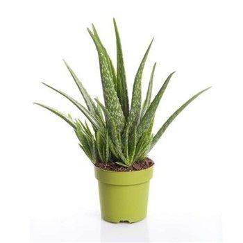 Aloes Vera Plante O15cm Pot Cactus Plants Plants Cactus