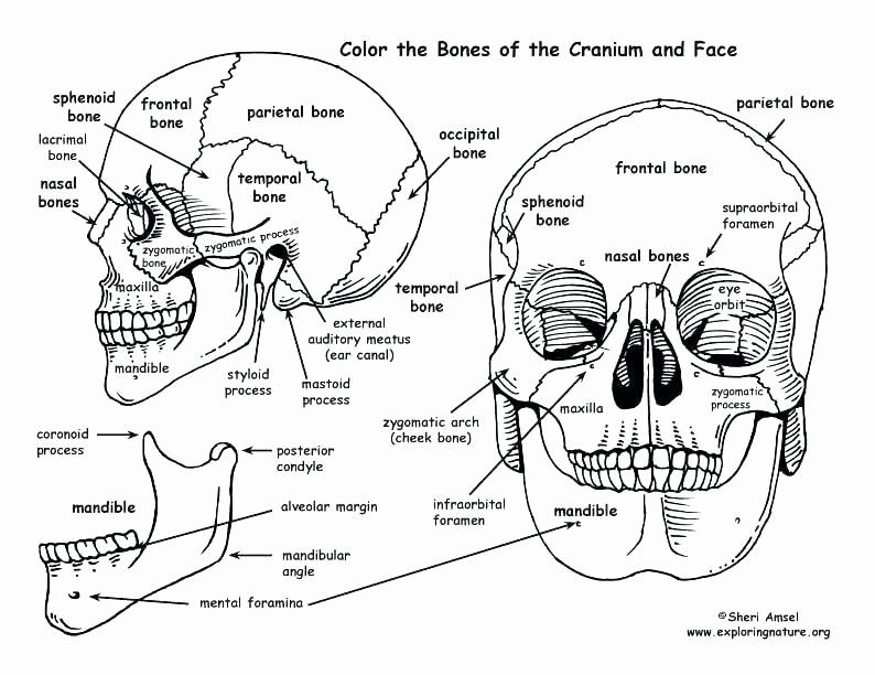 - Anatomy And Physiology Coloring Book Unique Human Anatomy Coloring Book 41  And Skull Co… In 2020 Anatomy Coloring Book, Skull Coloring Pages, Human  Anatomy And Physiology