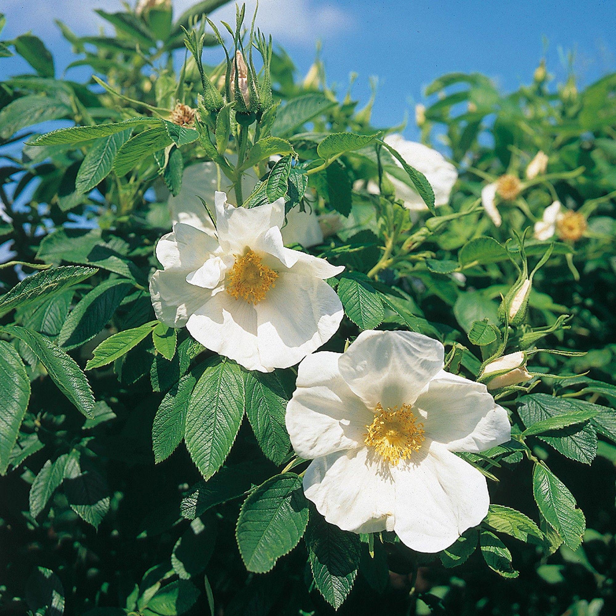 Nyveldt's White   Types of roses, Shrub roses, David austin roses