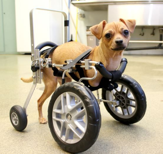 Roo The Pup With No Legs Now Has Her Own Wheels Diy Dog