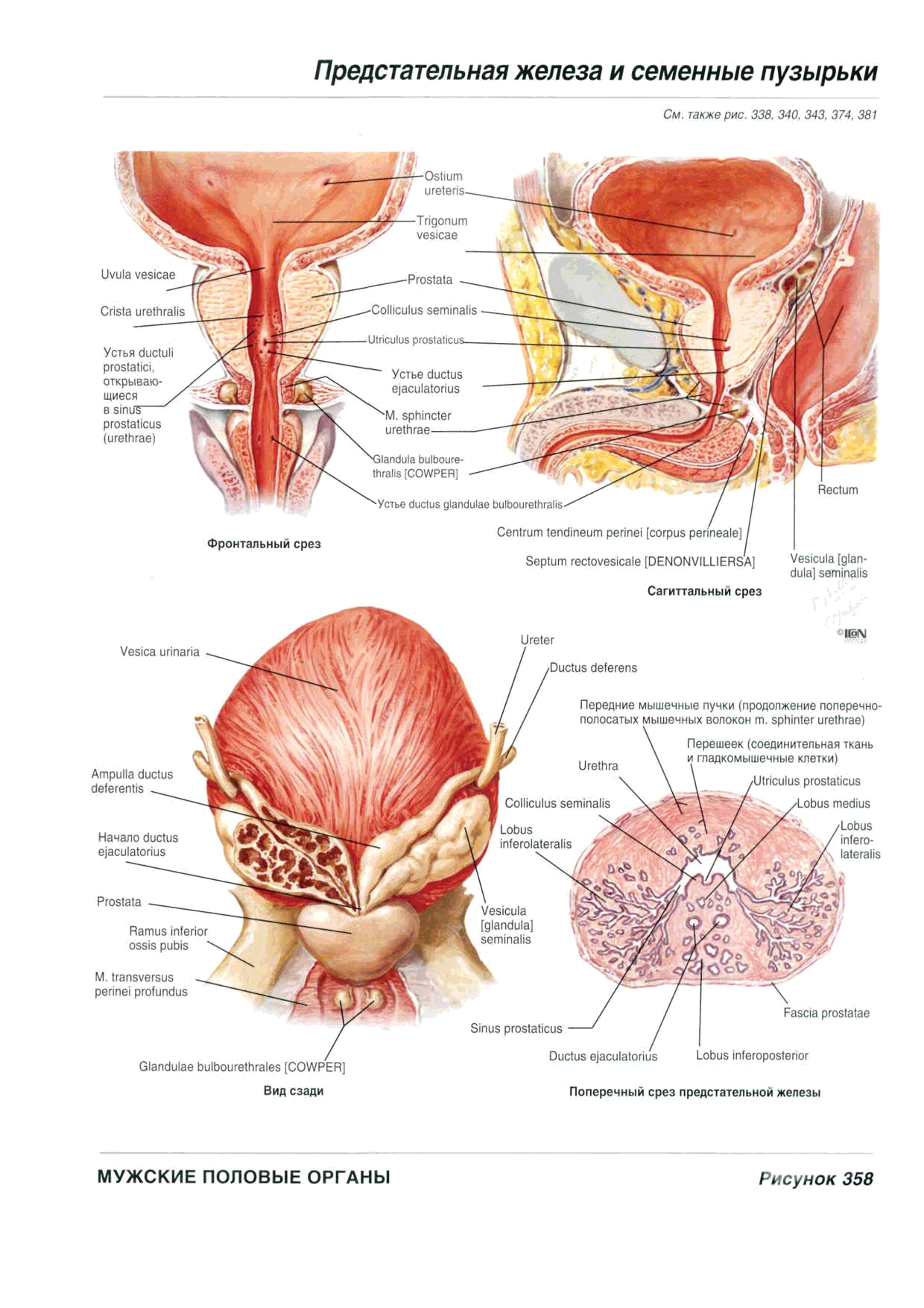 Groß Mandeln Anatomie Und Physiologie Fotos - Menschliche Anatomie ...