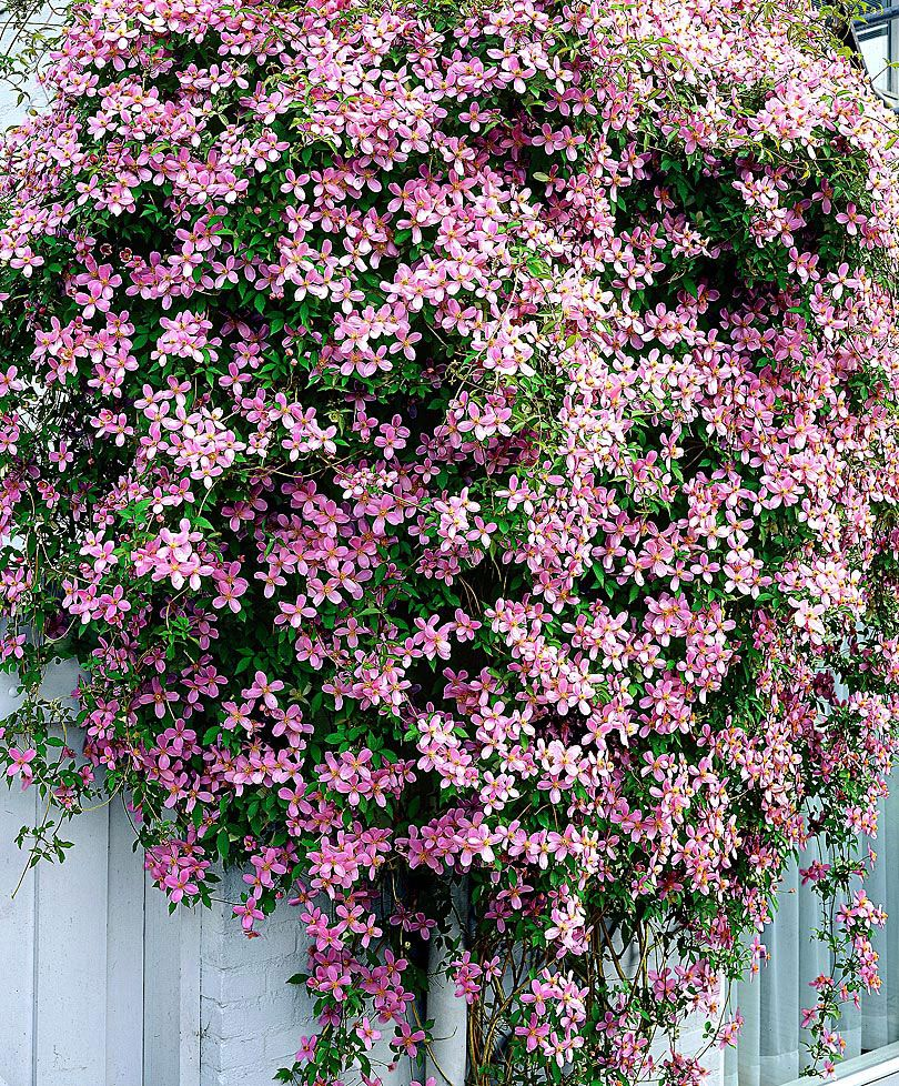 Clematis montana var. rubens Love this stuff) Garten