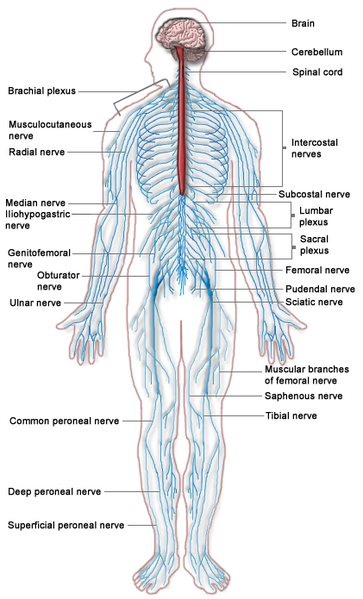 Nervous system diagram | Anatomy | Pinterest | Nervous system and ...