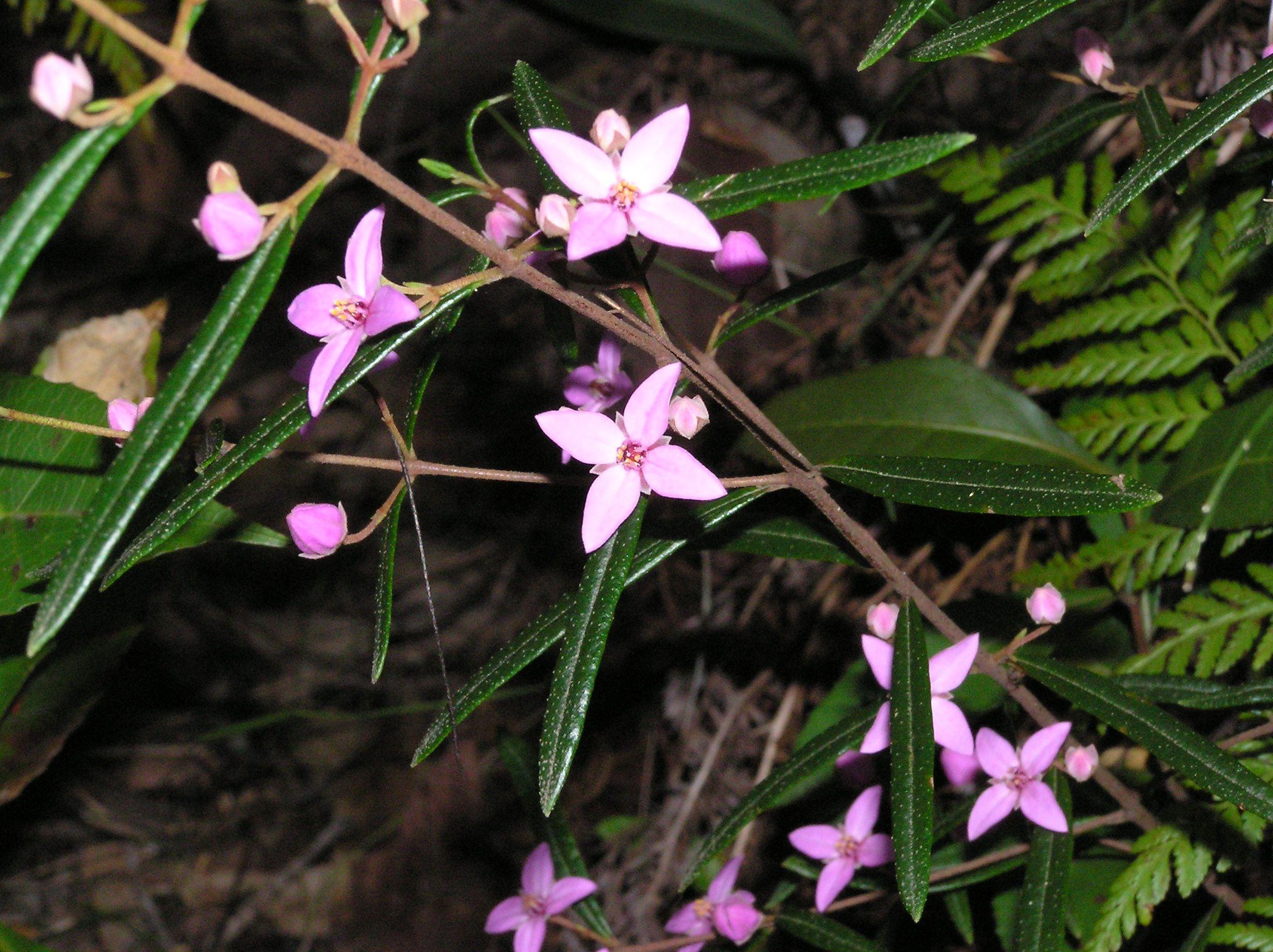 boronia ledifolia - Recherche Google