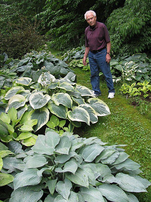Avid Belfast Gardener To Open Hosta Gallery To The Public Hostas Small Gardens Belfast