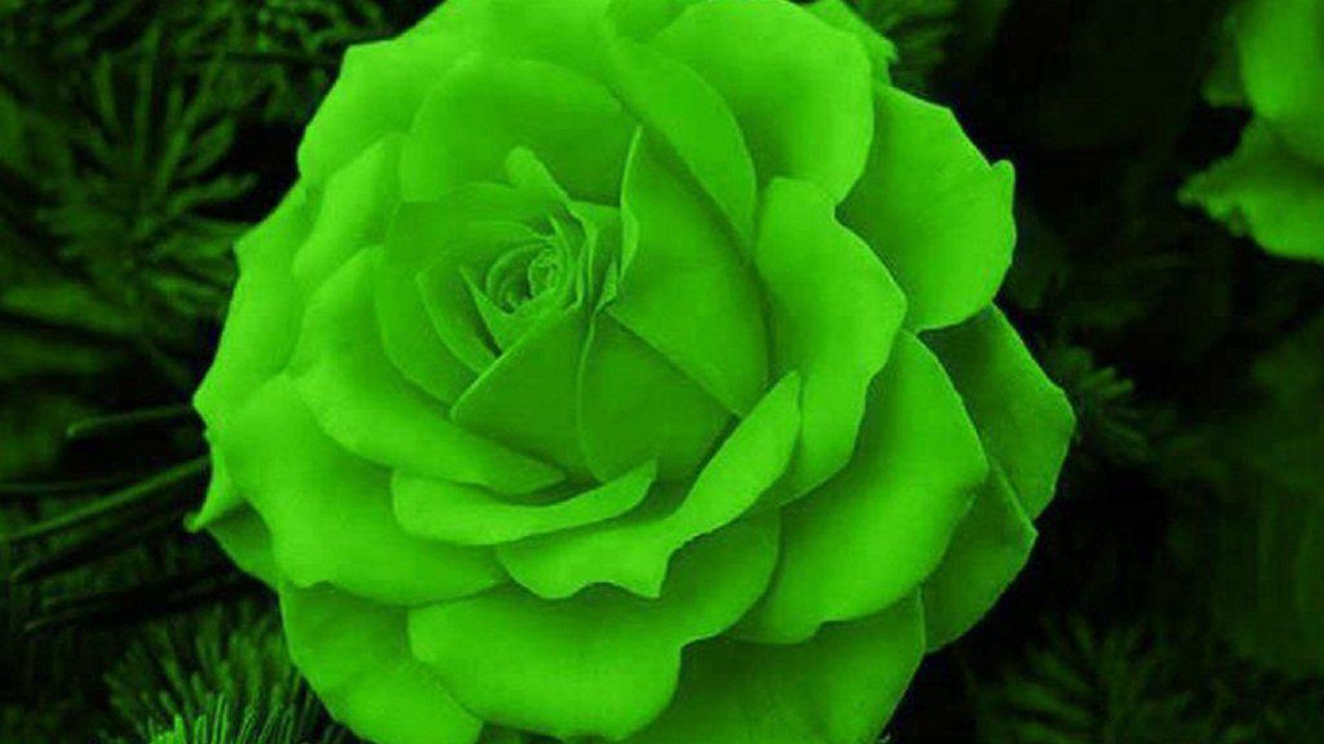 Natural Blue Yellow Roses Google Search Rose Seeds Green Rose Flowers