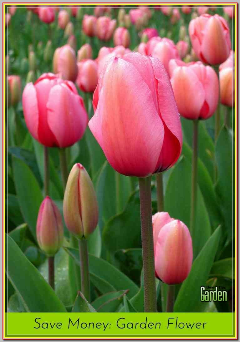 This Ensures That The Heat Of The Sun Does Not Cause The Water To Evaporate Allowing For Maximum Absorption Tulips Flowers Tulips Garden Beautiful Flowers