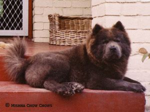 Chow Chow Without Exaggeration Guard Dog Breeds Dog Breeds
