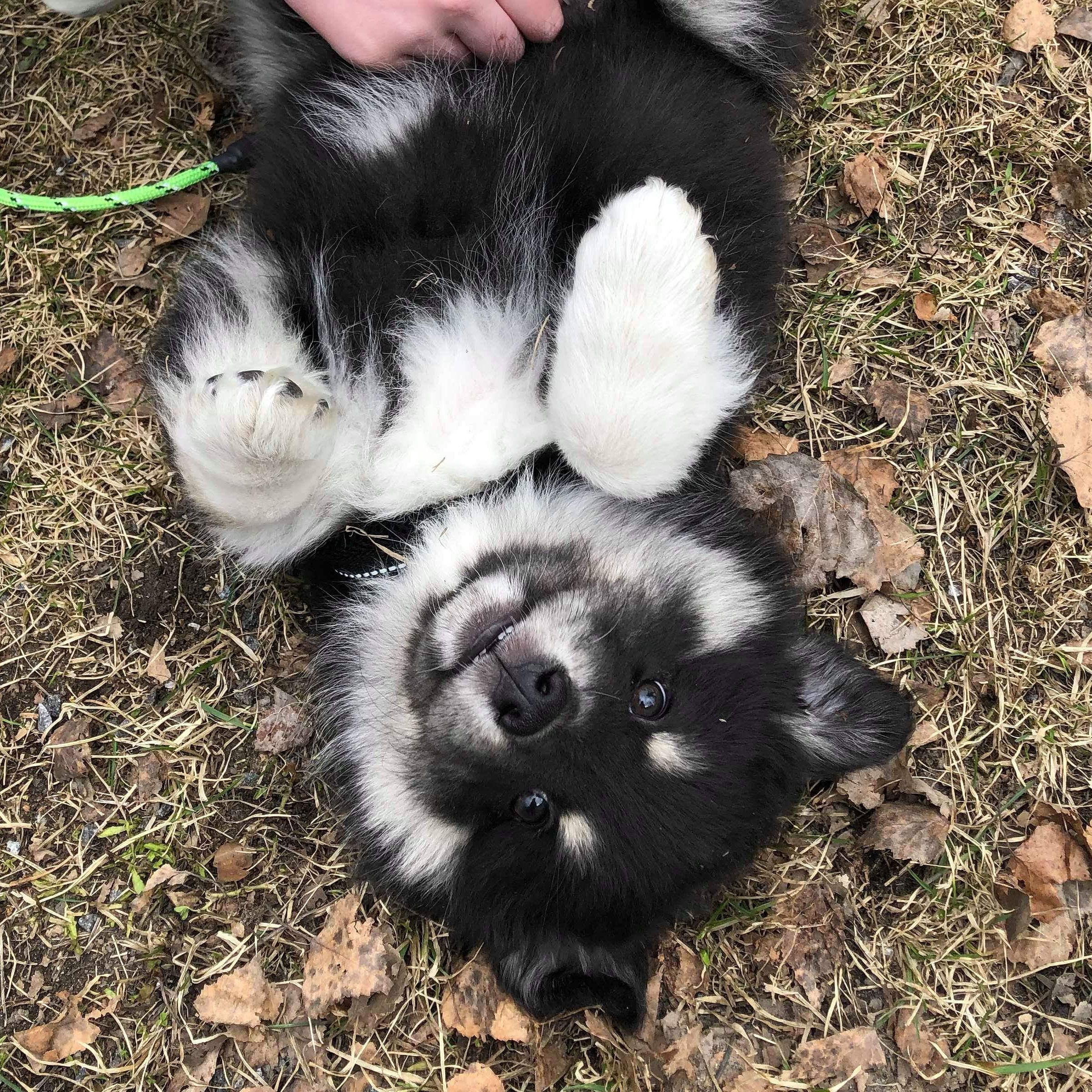 Cute Finnish Lapphund Puppy Music Indieartist Chicago With