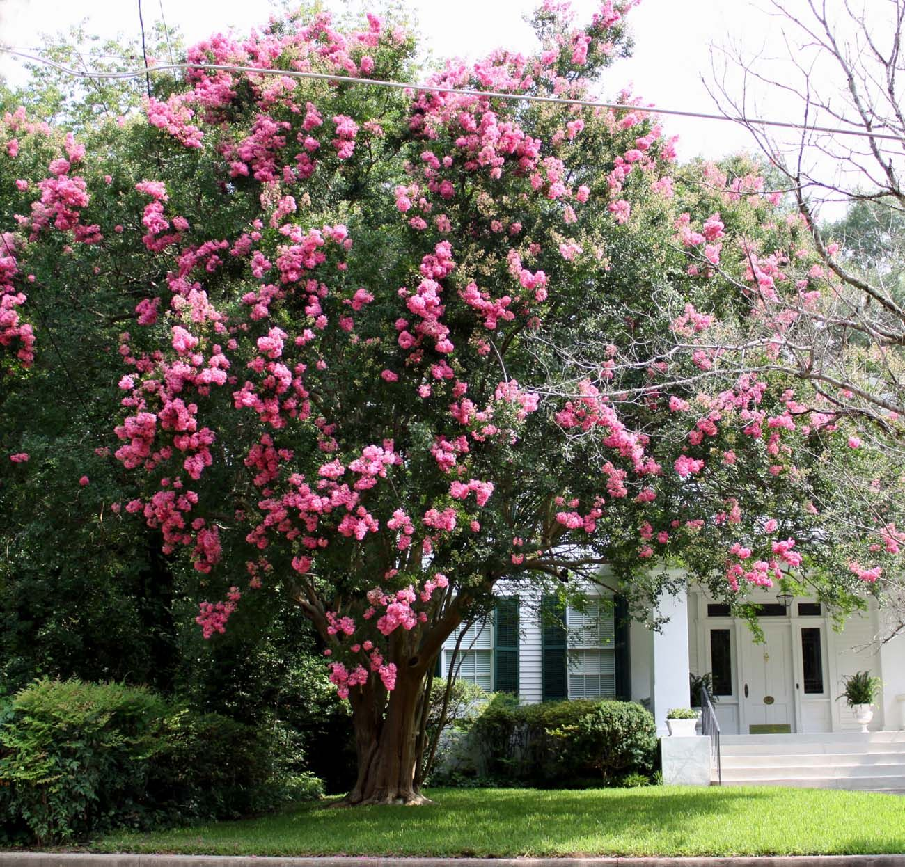 ms flowering trees | Flowers and plants that attract butterflies ...