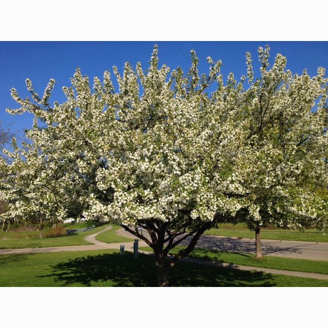 This Crabapple Tree Is In My Parents Front Yard. I Want It
