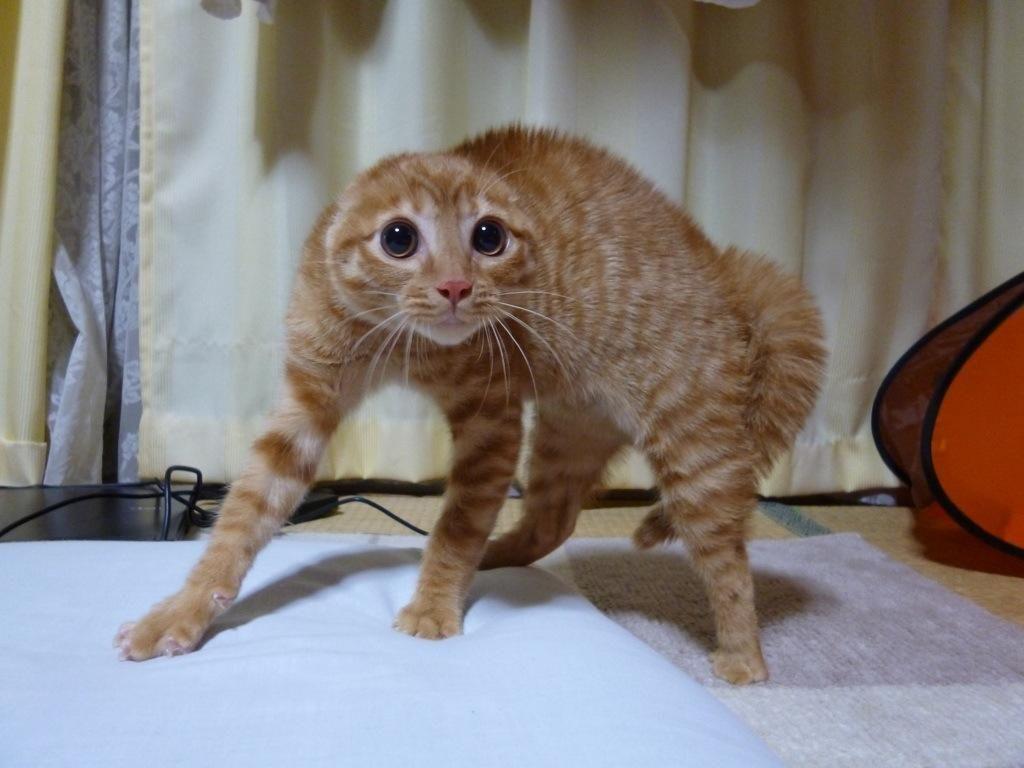 耳がなくなって威嚇する猫