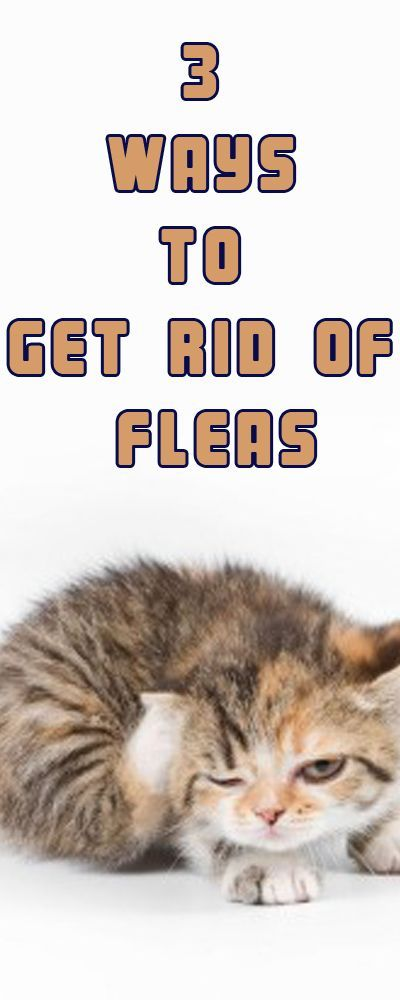 How To Get Rid Of Fleas Cat Fleas Treatment Fleas On Kittens Home Remedies For Fleas