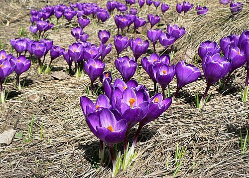 Purple crocus one of earliest spring flowers everything purple purple crocus one of earliest spring flowers mightylinksfo