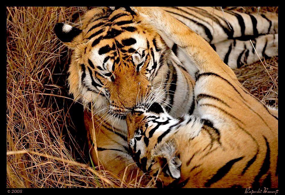 Us forever Tiger, Animals, Grassland habitat