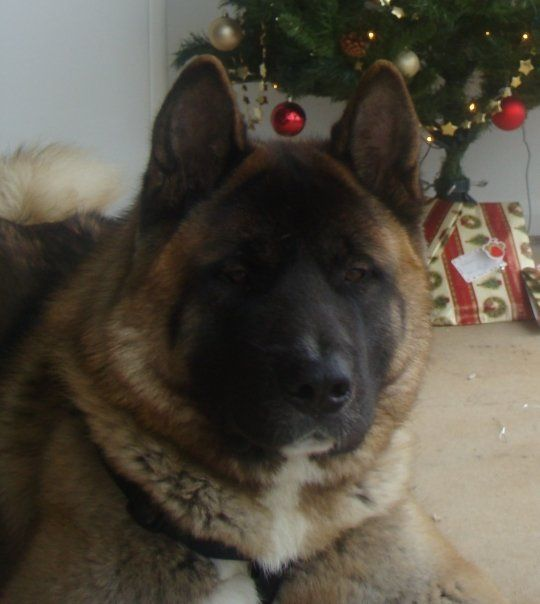 Full Grown Akita 130 Pound Male This Is The Twin Of Our 10mnth