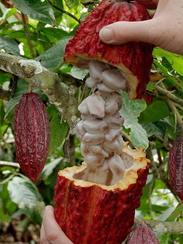 REAL Chocolate Tree Theobroma Cacao | Frutas y vegetales, Frutas y ...