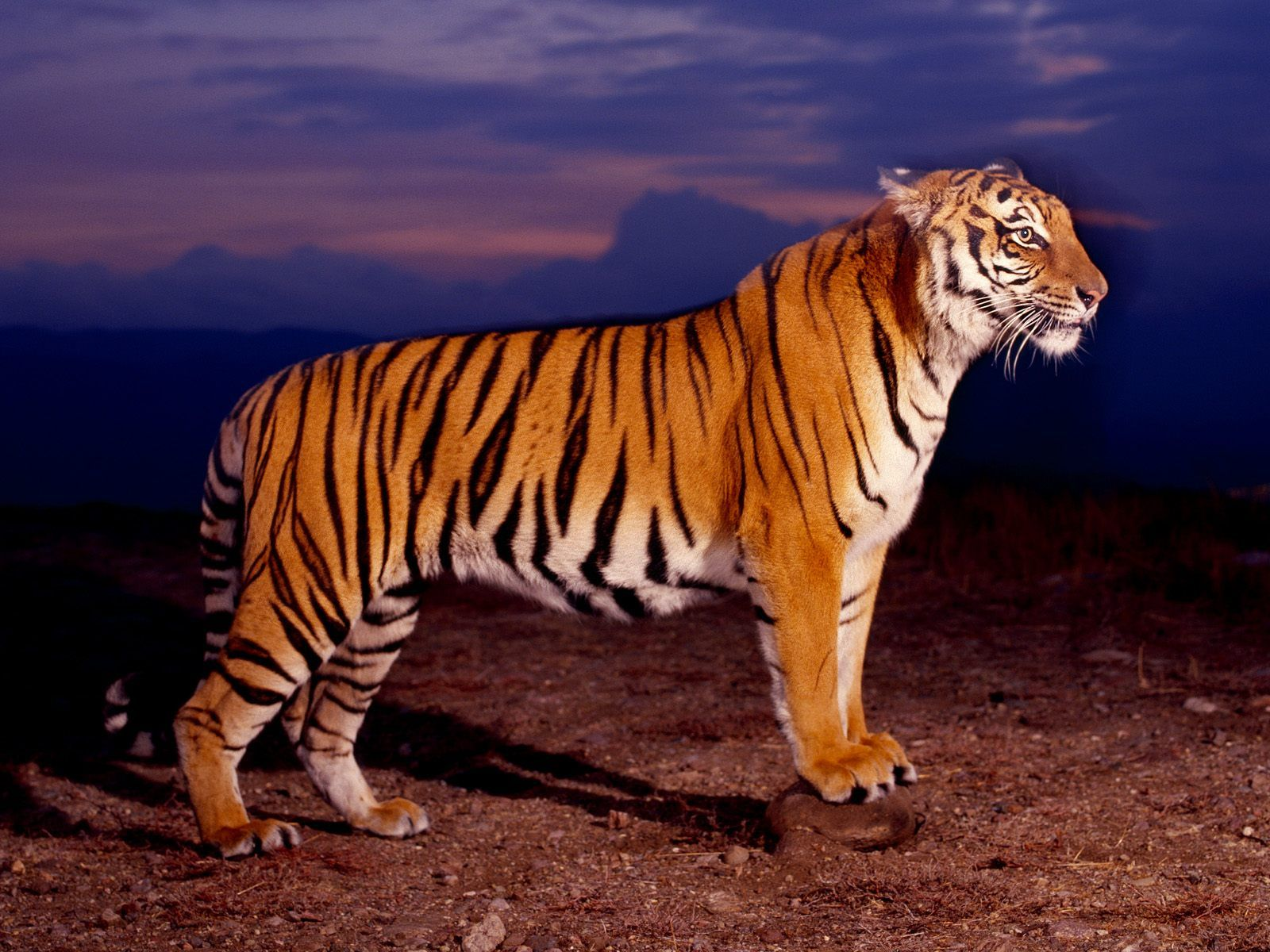 tiger standing and ready to attack wallpaper | tigers | pinterest