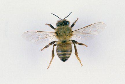 Honey Bee Anatomy Top View Image Copyright 2003 Tattoos