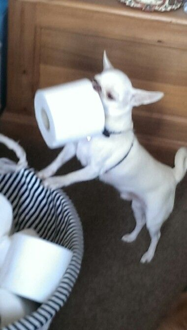 Join Jamie On Facebook Jamie A Little White Chihuahua Chihuahua Funny Chihuahua Love White Chihuahua