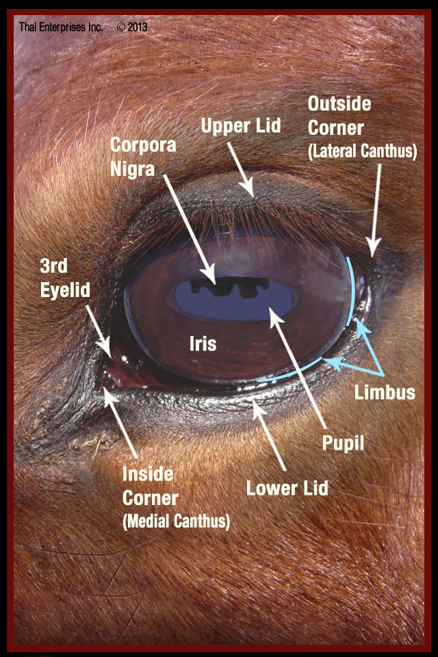 The Equine Eye: What Horse Owners Should Know - Thal Equine LLC ...
