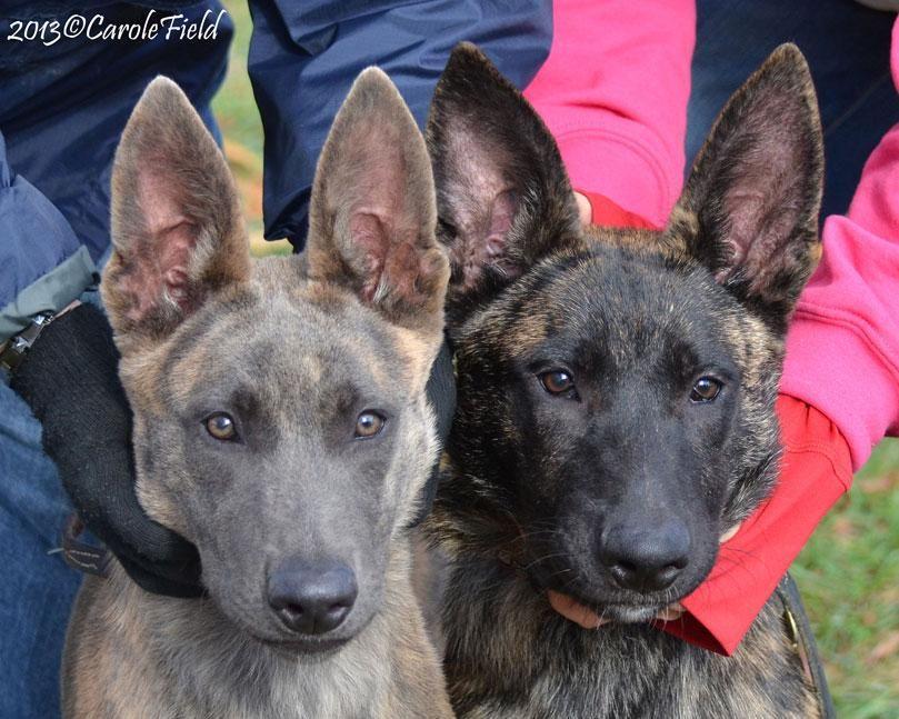 Our Dutch Shepherds Earn Their Stripes At Cher Car Kennels Dutch Shepherd Dog German Shepard Puppies Malinois Dog