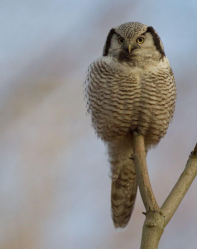 Northern Hawk Owl by Svend Erik Nørgaard