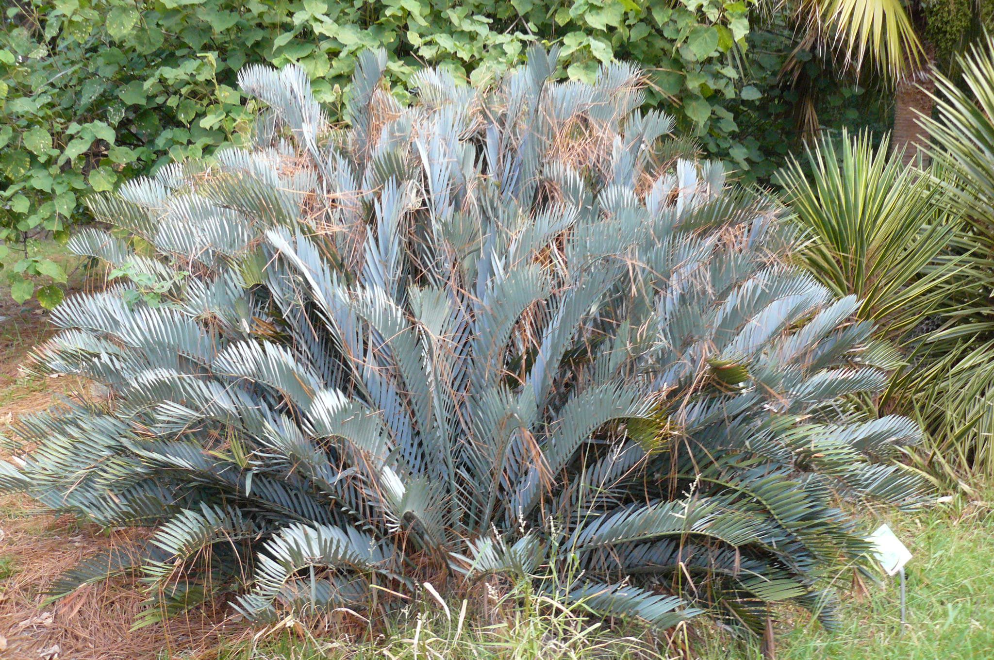 palmera abanico