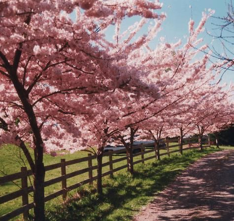 What Are The Characteristics Of An Akebono Cherry Tree Driveway Landscaping Tree Lined Driveway Landscape