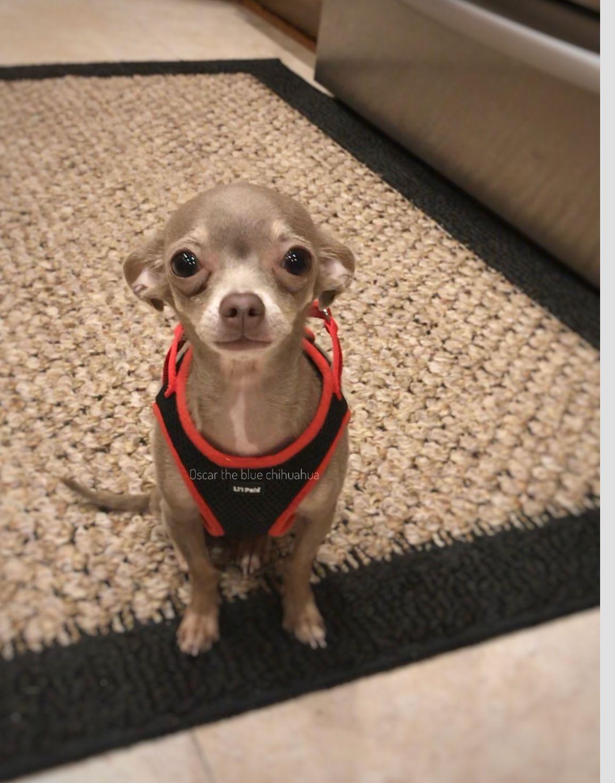 Oscarthebluechihuahua Ready For My Walk Chihuahua Dogs