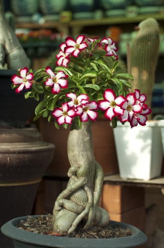 Can Desert Roses Recover From Frost Desert Rose Plant Rose Seeds Planting Roses