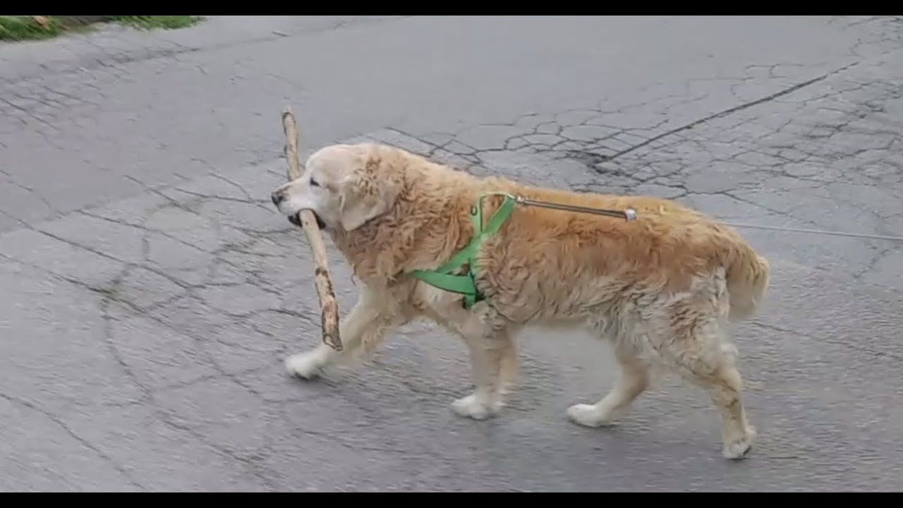 Golden Retriever Is So Happy When He Carries Home A Long Stick