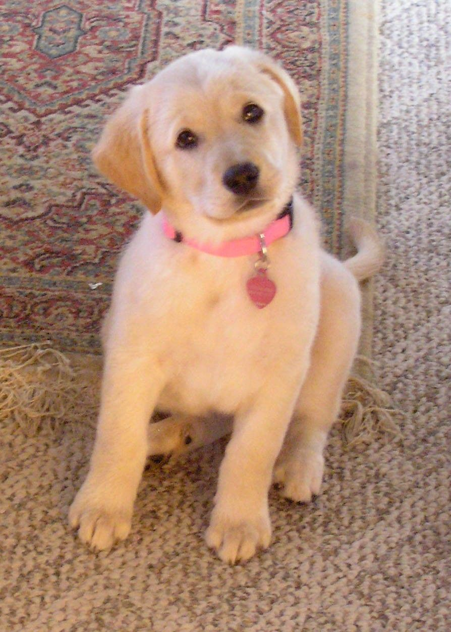Yellow Lab Golden Retriever Mix Lab Mix Puppies Golden