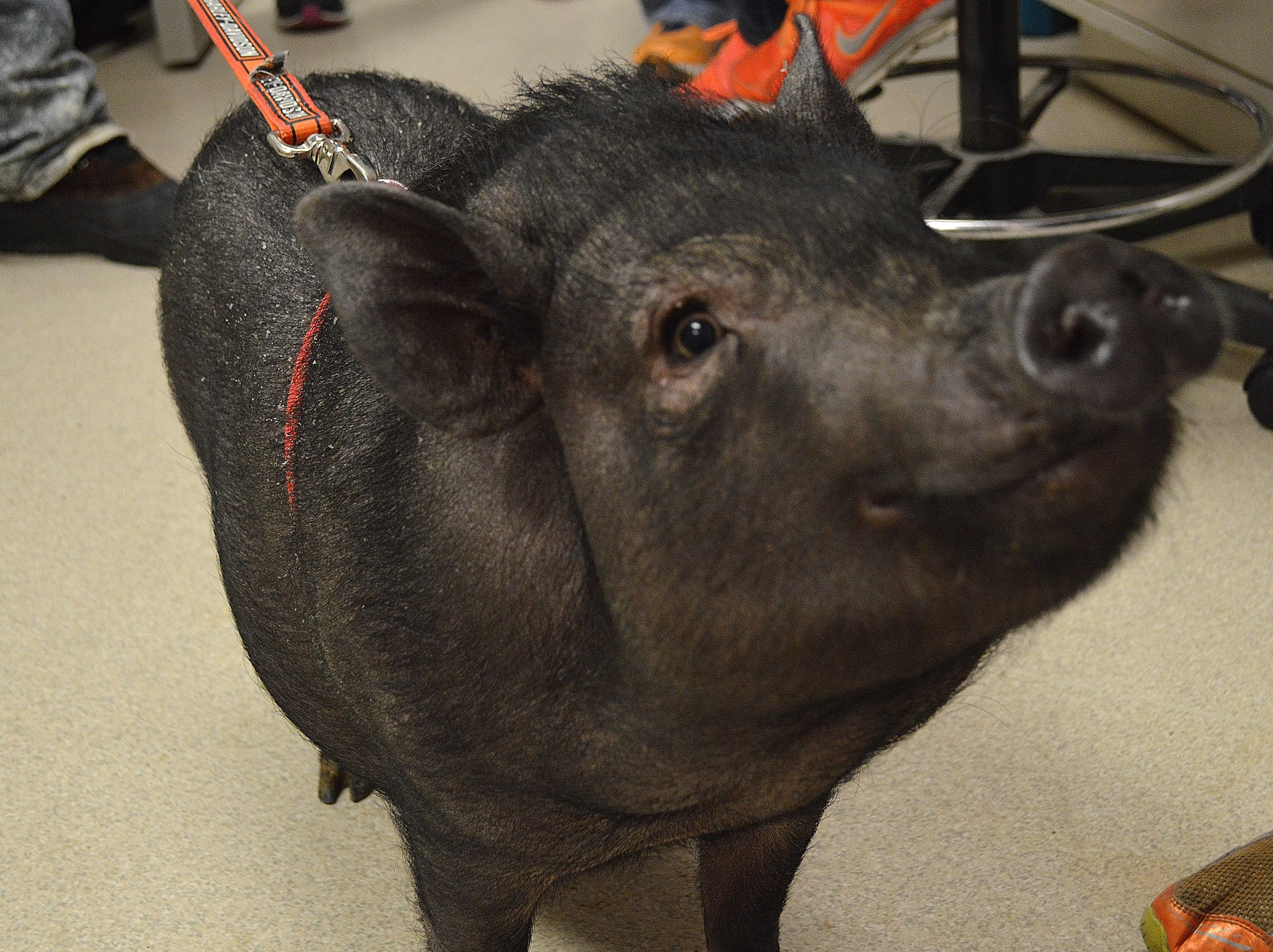Potbellied Pigs Can Be Leash Trained And Pottytrained Like