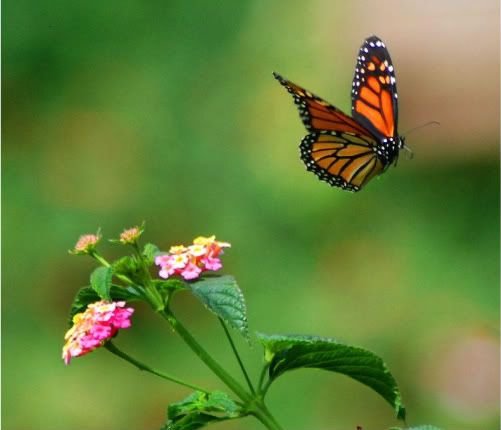 Monarch butterfly flying through a garden in Pacific Grove ...